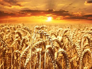 Golden field of wheat with sunset behind