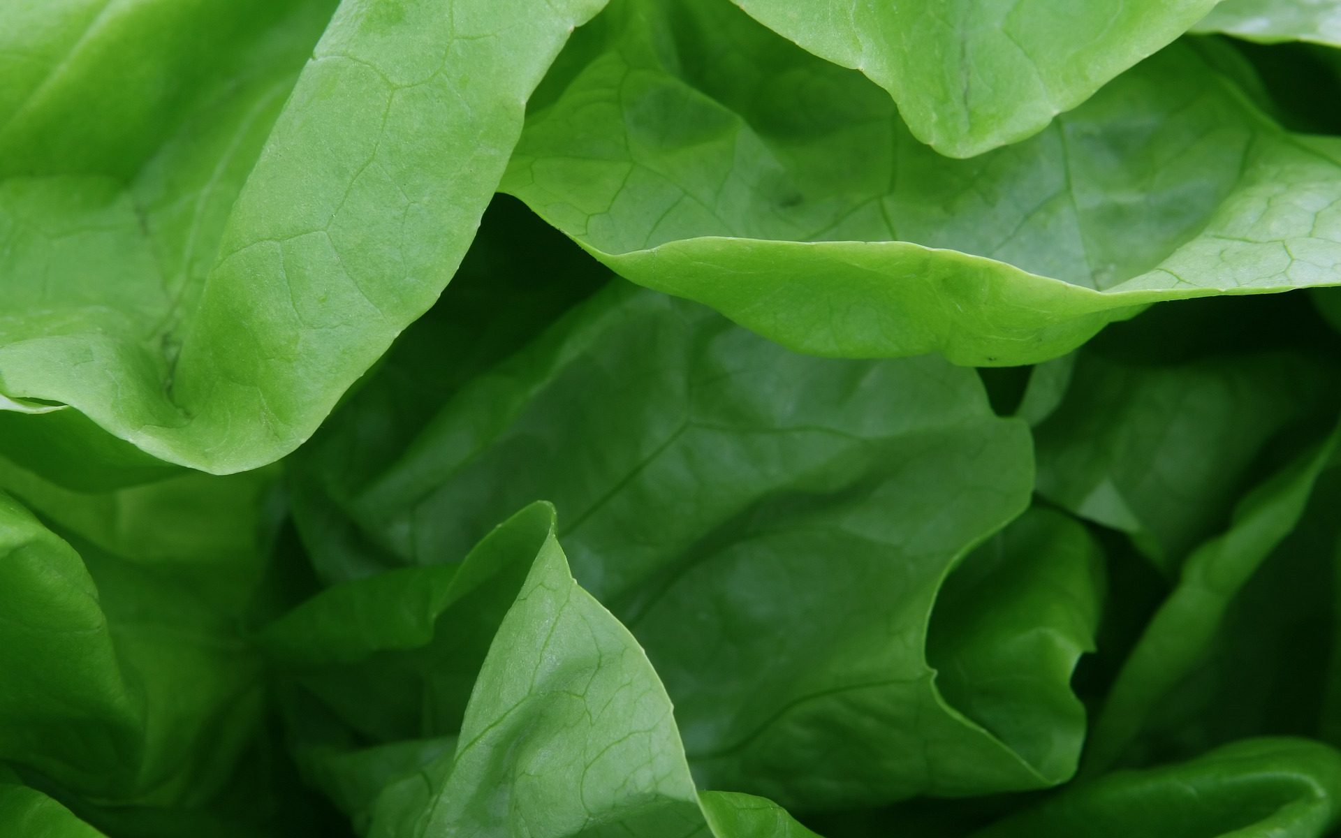 Close up of lettuce leaves from my raw food diet and weight loss month