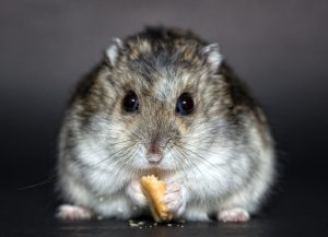 Fat hamster eating a biscuit