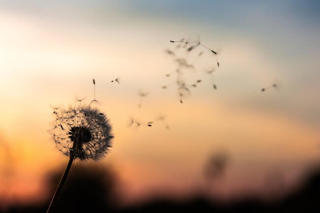 Dandelion seeds blowing on the wind
